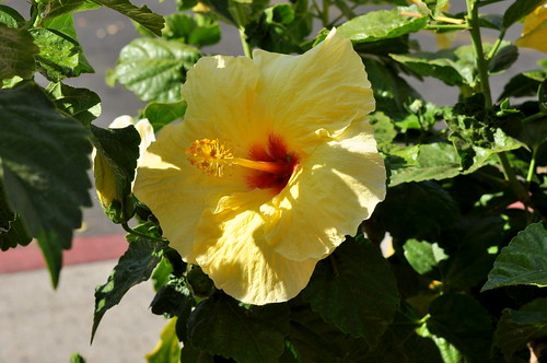 yellow hibiscus | by pearlsandprose