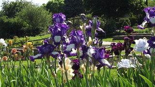 Art deco iris 2 dubuque arboretum and botanical garden - Dubuque arboretum and botanical gardens ...
