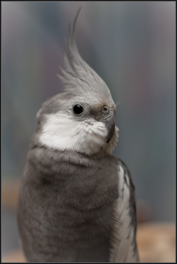 White-faced Cockatiel, Nymphicus hollandicus - Cockatiel ... |White Faced Cockatiel