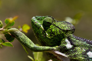 Chameleon | by Gareth Codd Photography