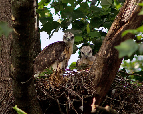 Red-tailed Hawk Nest | by darylcav
