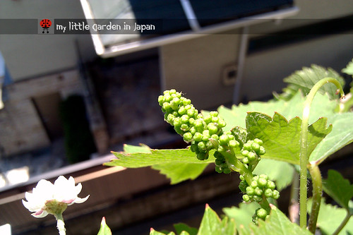 summer-grape-1 | by delcasmx
