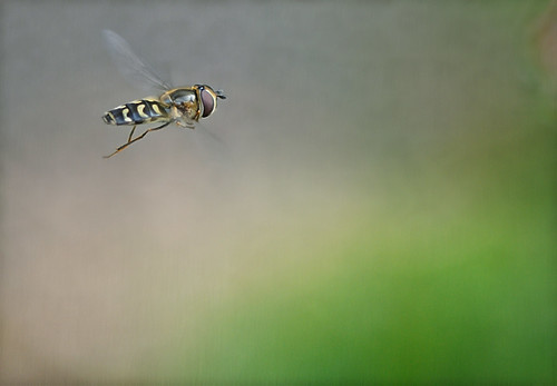 Hoverfly | by Funchye