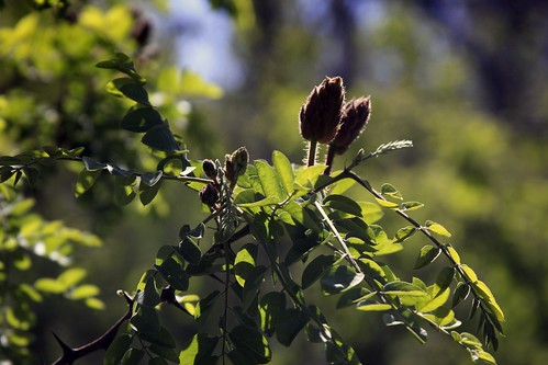 New Mexico Locust Buds | by San Francisco Gal