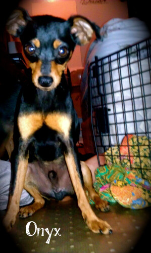 ONYX | Min-Pin/Chihuahua Mix (Male, Puppy) | AVAILABLE! | Flickr