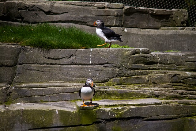 Atlantic Puffins / Papageitaucher