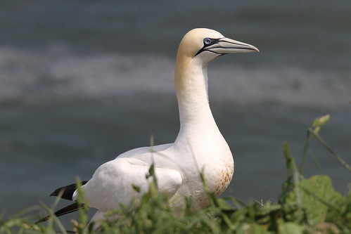 Gannet, RSPB Bempton Cliffs, East Yorkshire | by Andy_Hartley