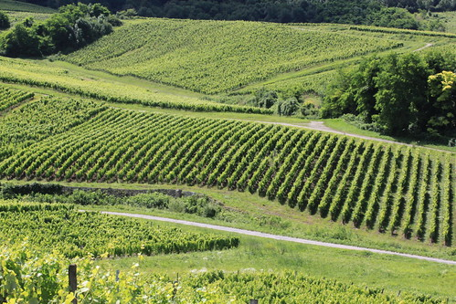 vignoble du Jura / Jura vineyard Buvilly (39) 8 juillet 2012 023 | by pascalcollin39