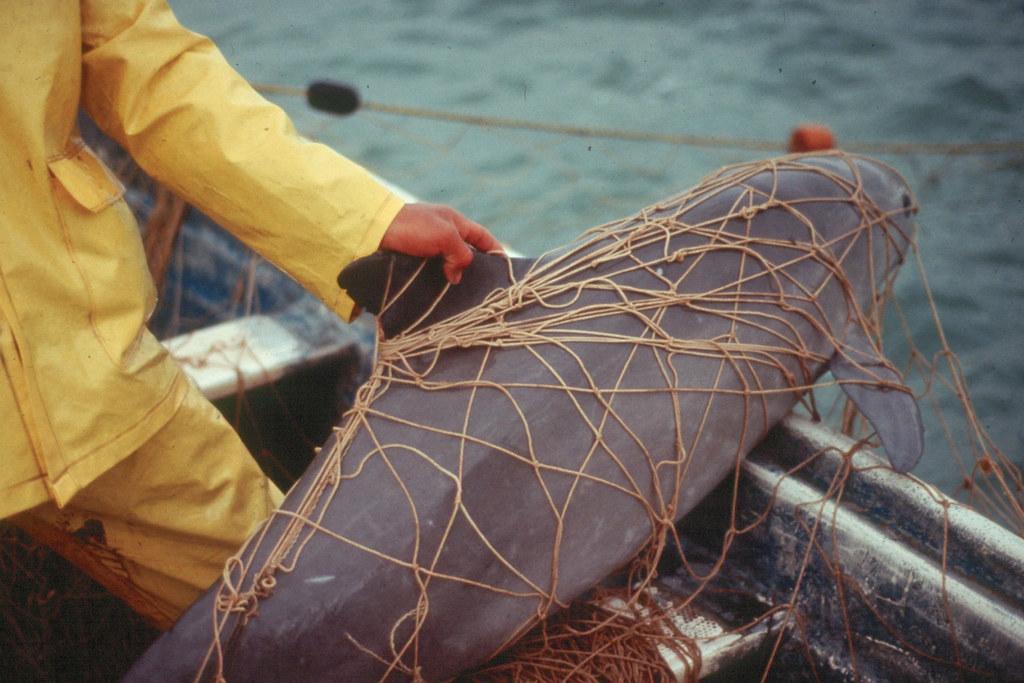 小頭鼠海豚。圖片來源:Cristian Faezi / Omar Vidal / WWF