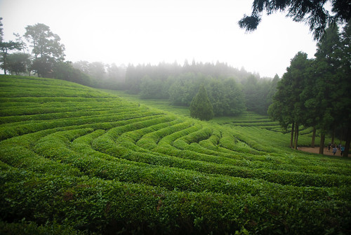 2010.8.13~15 Travel Jeonnam (Boseong Green Tea plantation) | by revoldaw