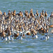 Knot and Avocet