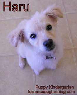 Haru the Pomeranian Mix | by TorrancePuppyKindergartenTraining