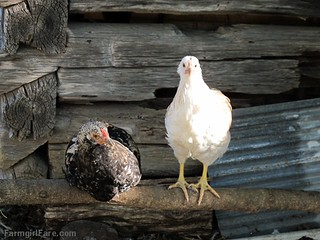 (19-10) Even the youngest batch of chicks is looking all grown up - FarmgirlFare.com | by Farmgirl Susan