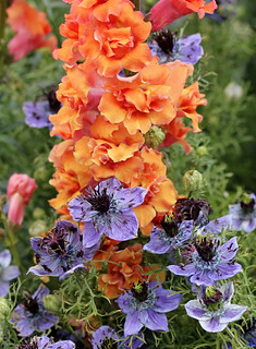 Antirrhinum majus 'Double Azalea Apricot' and Nigella hispanica 'Curiosity' | by anniesannuals