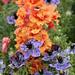 Antirrhinum majus 'Double Azalea Apricot' and Nigella hispanica 'Curiosity'