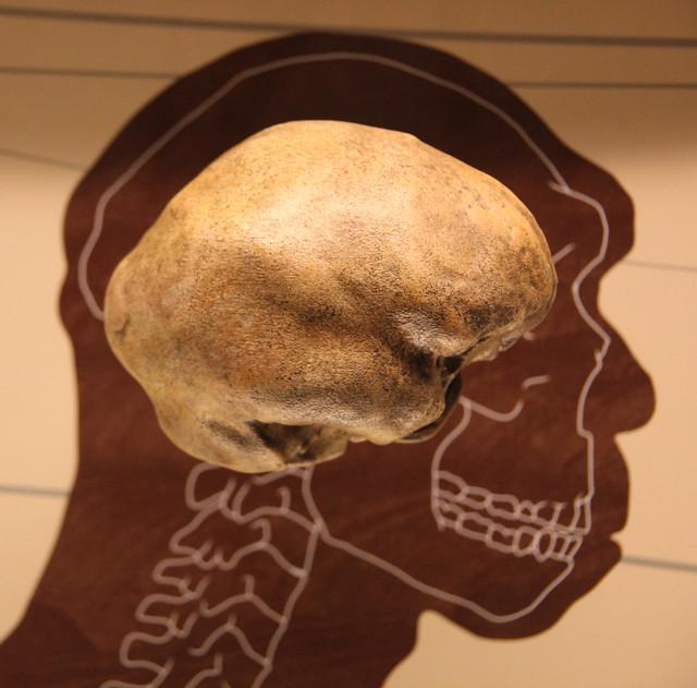 Homo heidelbergensis endocast - Smithsonian Museum of Natural History - 2012-05-17