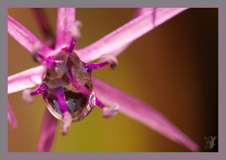 Allium Water Drop | by Snappy Viking (Please leave a comment!)
