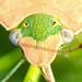 Percevejo // Southern Green Stinkbug (Nezara viridula)