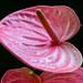 Pink Anthirium