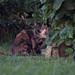 Cat Stare .04