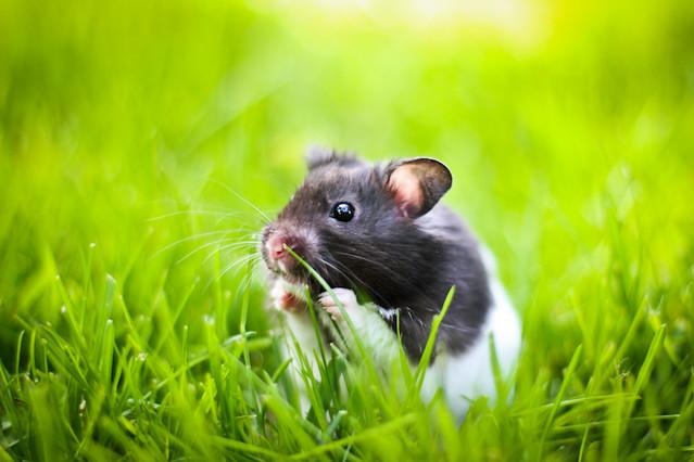 Black Banded Syrian hamster | Flickr - Photo Sharing!
