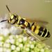 Vespa // Digging Wasp (Philanthus pulchellus)