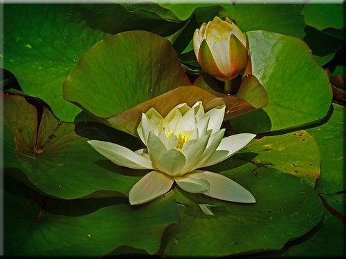 Water Lily | by Ostseetroll
