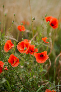 Poppy 2012 (0079) | by Meeta Wolff @ What's For Lunch, Honey?