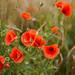 Poppy 2012 (0079)