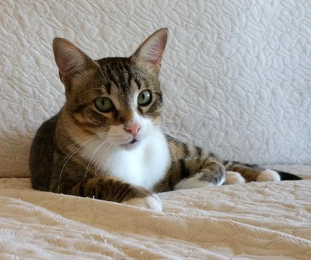 Cotton y Cobby, gatos pardo y blanquipardo inseparables, nacidos en Febrero´15, necesitan adopción Conjunta. Valencia. 29278844370_5af2e62521_z