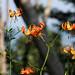 Tiger-like mountain flowers