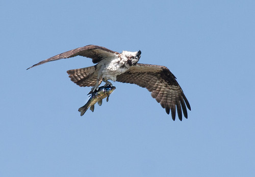 The Head Turned, up and around, fish carrying Osprey Photo | by Fastball95 (Steve Leach)