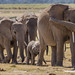 Elephants Herd Amboseli