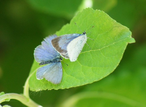 Holly Blue male and female | by Wendy Wino Marks