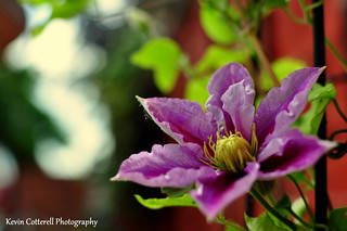 Clematis | by AreKev