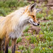 Red Fox Looking at Ground