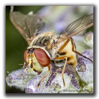Hoverfly on Lavender | by Roland Bogush