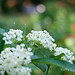 butterfly weed-ants