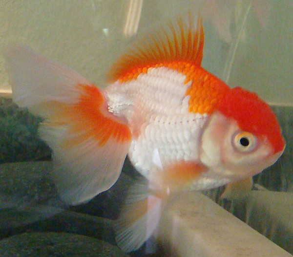 Oranda see more photos at for Ok google plenty of fish