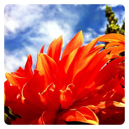 #orange petals against a perfect #blue #sky | by superkimbo