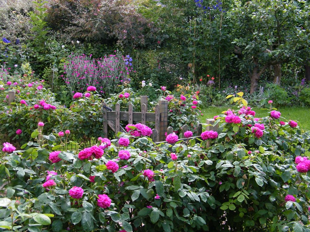 Roses In Garden: Rose De Rescht Hedge - Mercat Cottage Garden Roses
