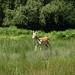 New Forest Deer (3)