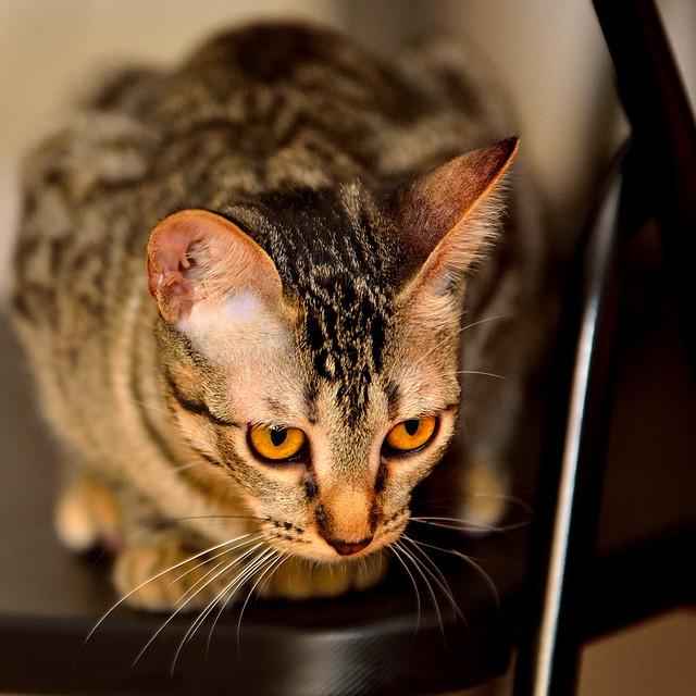 Muriel, gatita atigrada parda tímida y dulce esterilizada, de ojos cobrizos, nacida en Abril´16, en adopción. Valencia. 28987501414_98c67538f9_z