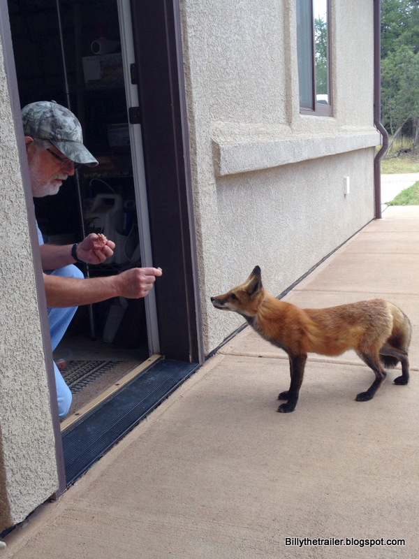 Larry's pet fox