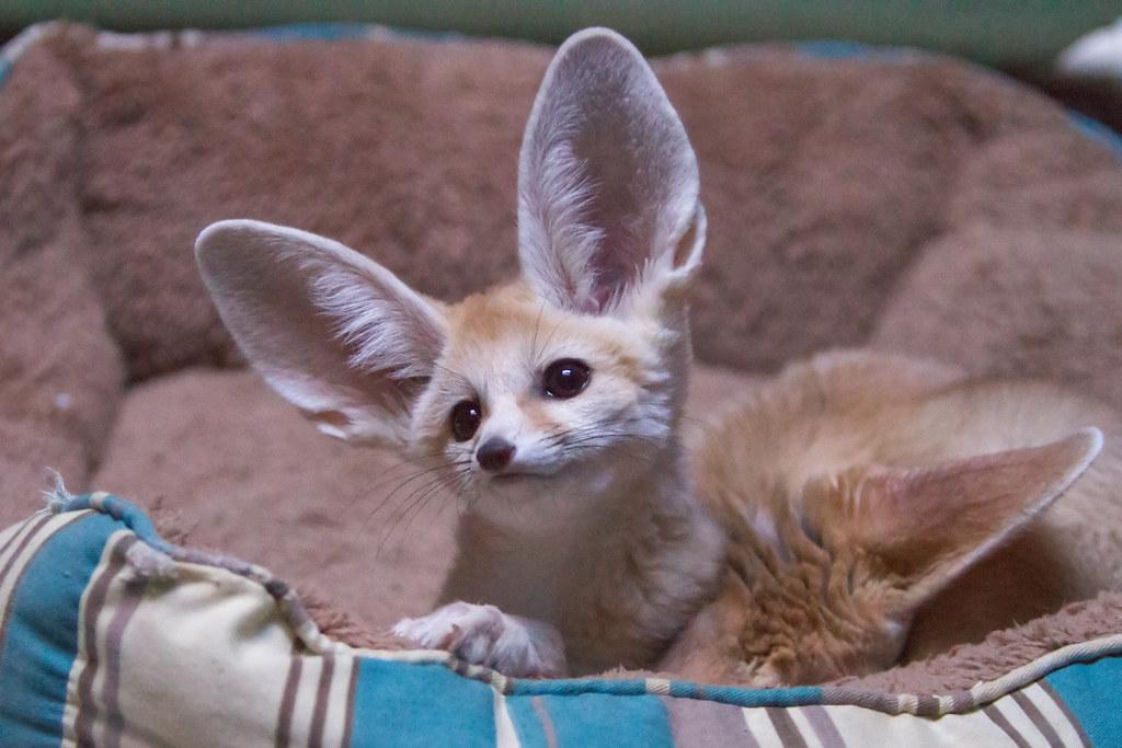 Baby Fennec Fox   Isn't he cute? Here's a baby Fennec fox ... Fennec Fox Newborn