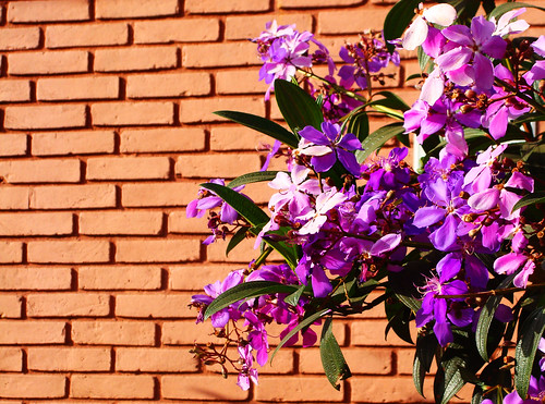 Brickwallflower | by osvaldoeaf