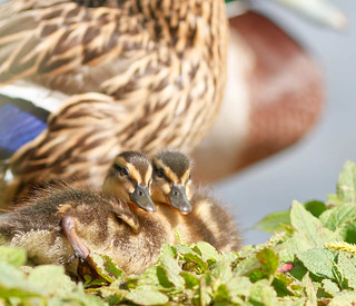 mallard ducklings | by Tales From The Riverbank