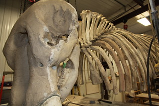 Priscilla the Mastodon | by Houston Museum of Natural Science