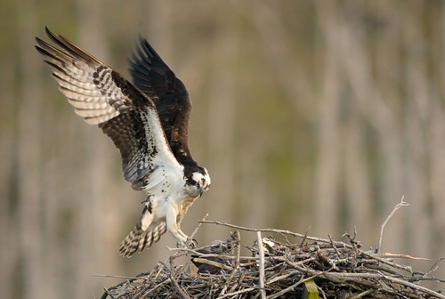 Osprey Returning to the Nest. | by Mark Schwall