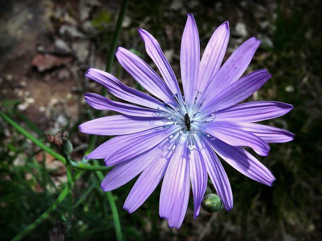 Fleur De Bezegue Laitue Vivace Et Un Petit Coleopte Flickr